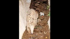 Pangolin body parts are used to make traditional Oriental medicines.