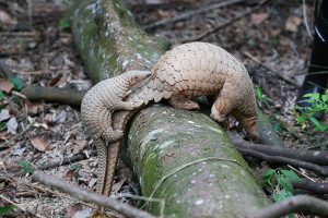 A baby Sunda pangolin holds onto its mother's tail. These endangered animals produce only one offspring a year; twin births are rare. PHOTO: ST FILE