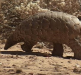 Pangolins are described as the world's most trafficked animal, but you have probably never heard of it. (Photo : Youtube/Earth Touch)
